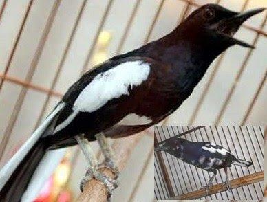 Tips Dan Cara Melakukan Proses Perawatan Burung Kacer Untuk Rumahan Agar Gacor Setiap Hari Paling Akurat