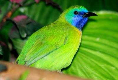 3 Tips Perawatan Burung Kinoi/Cekcor Agar Bisa Cepat Gacor Paling Akurat