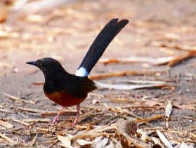 6 Cara Merawat Burung Murai Batu Agar Rajin Berkicau Dan Cepat Gacor/Ngeplong