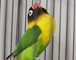 Ciri - Ciri Bahan Lovebird Konslet Di Ombyokan Paling Akurat