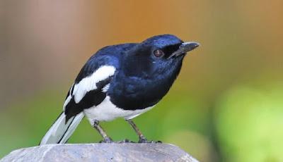 Kisaran Daftar Harga Burung Kacer Terbaru Saat Ini 2019 Terlengkap