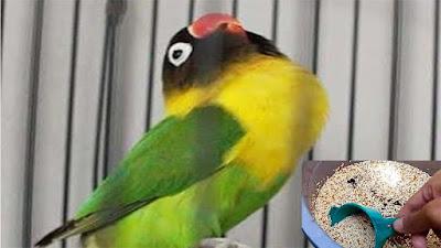 Rahasia Pakan Racikan Lovebird Konslet Yang Tentunya Sudah Terbukti Hasilnya