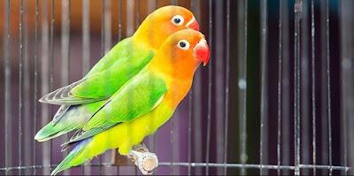 Tips Proses Penjemuran Lovebird Bahan Yang Baik Dan Benar Setiap Hari