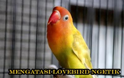Tips Akurat Mengatasi Lovebird Ngetik Di Lomba Tidak Mau Ngekek Paling Lengkap