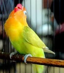 Cara Cetak Dan Perawatan Lovebird Betina Konslet Paling Lengkap