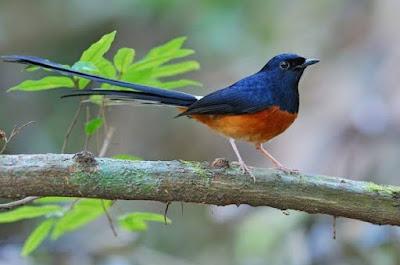 Kisaran Harga Burung Murai Terbaru Saat Ini 2020 Paling Lengkap